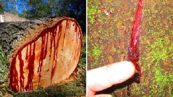 gỗ hương huyết