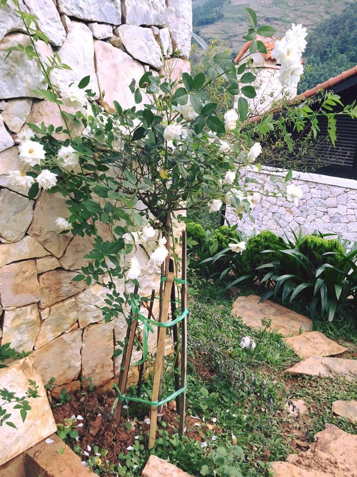 Vườn hoa hồng trắng nở bốn mùa dọc những căn biệt thự Sapa Jade Hill